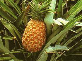 ananas pflanzen zucht aufzucht